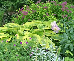 Hosta dominate the shade gardens at Viette's