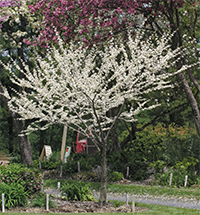 The white blooming redbud has pure white blossoms.
