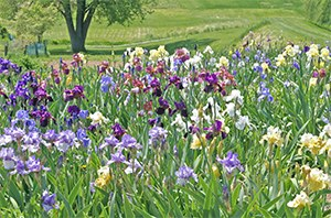 Iris display beds
