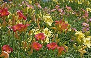 Beautiful blooming daylilies