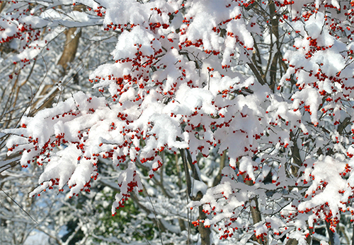 Bright red berries of winterberry are beautiful covered in snow!