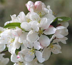 beautiful crabapple blossoms are a delight in the spring.