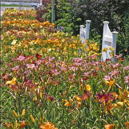 Daylily display bed