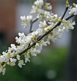 The white blooming redbud