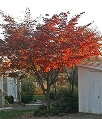 Kousa dogwood has brilliant fall color!