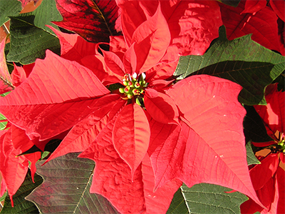 A beautiful poinsettia plant in the traditional red color.