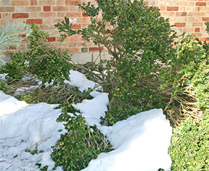 This boxwood may need to be tied back into shape once the snow melts.