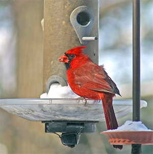 A cheery red cardinal brightens a snowy morning!