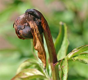 Botrytis on a peony flower bud