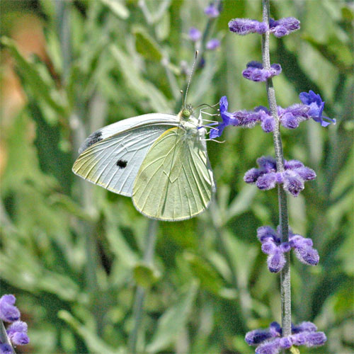 Sulfur Butterfly on Perovskia