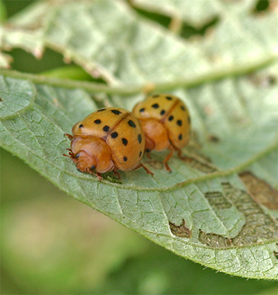 Mexican bean beetles can be devastating to bean crops.