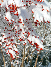 Snow covered winterberry