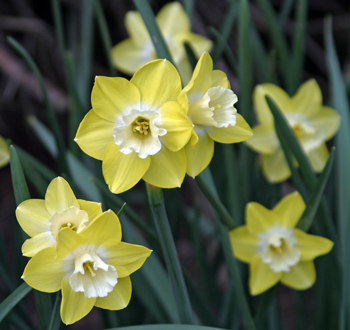 Beautiful hybrid daffodils