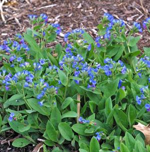 Pulmonaria blooming in early spring