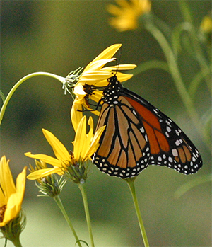 Butterflies flock to Helianthus blooms in the fall.