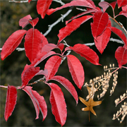 Sourwood tree dons brilliant red autumn foliage.