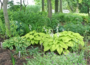 A huge diversity of hosta can be found in the Viette gardens.