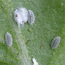 Mealybugs on underside of leaf