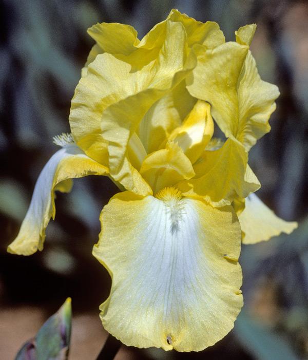 Iris Buttercup Bower