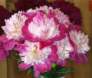 A beautiful vase of cut Peony 'Gay Paree'