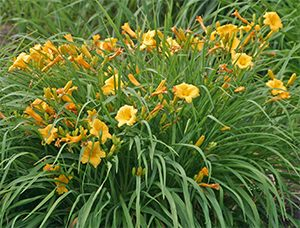 Everblooming daylily 'Stella de Oro'