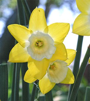 Beautiful hybrid daffodils are a welcome sight in spring!