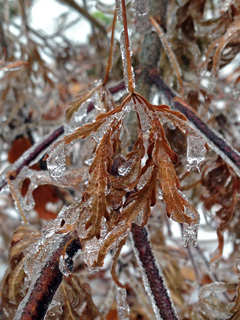 Ice buildup on maple