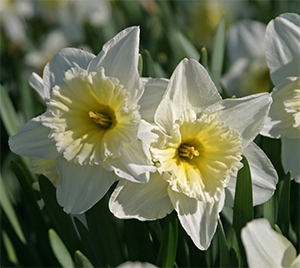 Narcissus _Ice Follies_ is a great naturalizing cultivar.