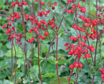 Heuchera Ruby Bells