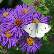 Butterflies love the fall blooming asters!