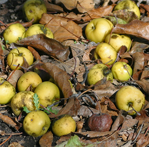 Fallen quince can harbor overwintering diseases and insects.