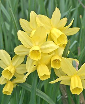 many miniature daffodils have a wonderful fragrance.