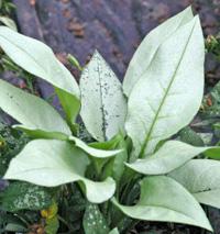 Pulmonaria 'Majeste' has solid silver leaves