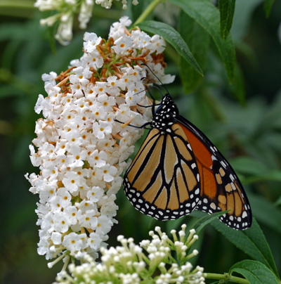 Monarch butterfly on a Buddleia 'White Profusion' flower