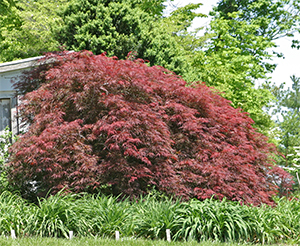 Japanese maples have glorious color in the spring.