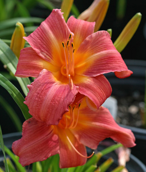 Daylily Colorful Summer