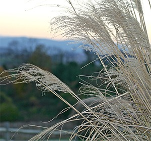 Wispy plumes of Miscanthus against the November sky.