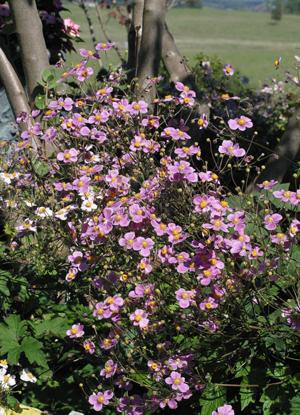 Bright pink Japanese anemone