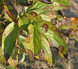 Botrytis on peony foliage
