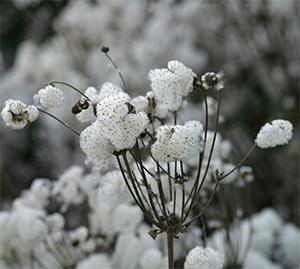 Fluffy seedheads of Japanese anemone