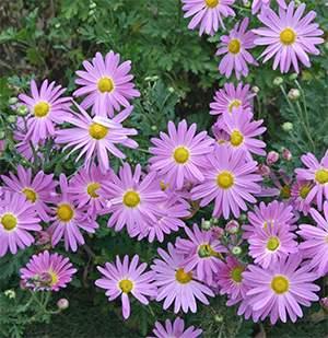 Chrysanthemum 'Viette's Pink Sport'