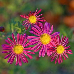 Hardy chrysanthemums bring color to the fall garden!