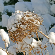 snow lays on a dried hydrangea flower