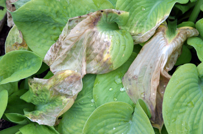 Freeze damage to tender hosta foliage