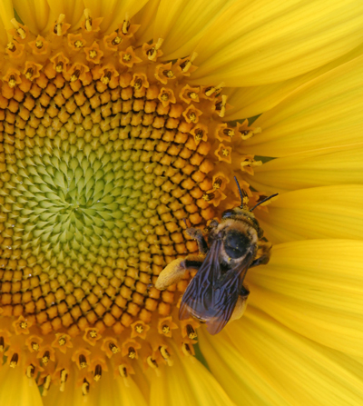 A honey bee collects nectar and pollen from a sunflower