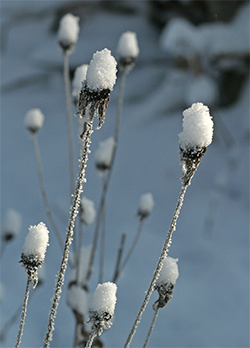 Rudbeckia wears a hat of snow after a winter storm.