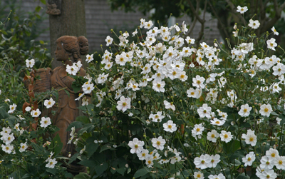 Anemone Honorine Jobert planted en masse