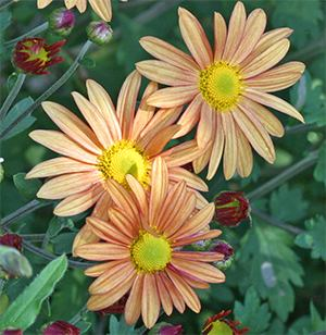 Chrysanthemum 'Viette's Apricot Glow' is a super hardy fall