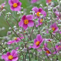 Japanese anemones fill the Viette gardens with color in autumn