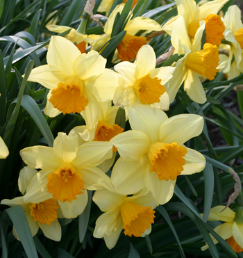 Cheery daffodils are a welcome sight in spring_